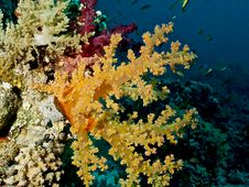 Free The Soft Corals (Alcyonacea) (dendronephthya) Stock Photography - 17010732