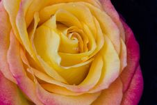 Free Yellow And Orange Rose Stock Photography - 17013632