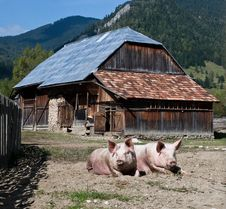 Free Pigs Stock Image - 17014381