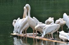 Free Pelicans Rest On Lake Royalty Free Stock Photos - 17014648