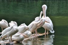 Pelicans Rest And Relax Royalty Free Stock Photos