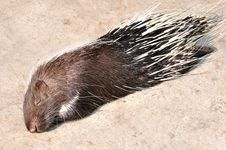 Free A Porcupine Stock Images - 17014674