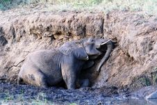 Free Elephant Mud Bath Stock Images - 17015464