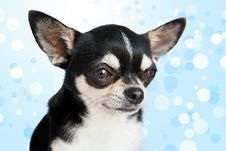 Free Cute Chihuahua On Background Royalty Free Stock Photo - 17017555