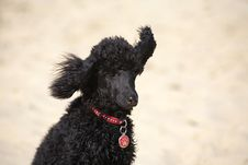 Free Toy Poodle Royalty Free Stock Photography - 17018827