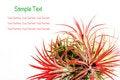 Free Tillandsia Stock Photography - 17021112