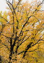 Free Big Autumn Tree Royalty Free Stock Images - 17023379
