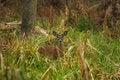 Free White-tailed Deer Doe Stock Image - 17024161