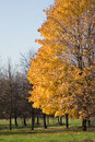 Free Yellow Tree Royalty Free Stock Photo - 17028785