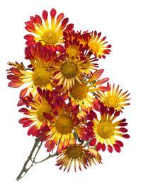 Free Chrysanthemum Stock Photos - 17020523