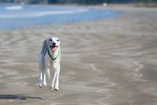 Free Whippet Running Along Beach Stock Photo - 17020530