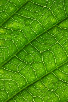 Free Leaf Surface Royalty Free Stock Photography - 17021047