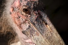 Marabou Stork With Sunlit Textured Face And Beak Royalty Free Stock Photo