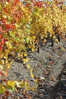 Autumn Vineyard In Crimea,Ukraine Stock Photography