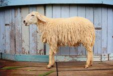 Free Sheep In The Farm Stock Photos - 17022573