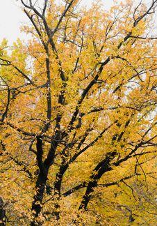 Free Big Autumn Tree Royalty Free Stock Images - 17023379