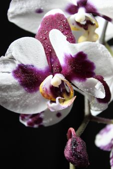 Free Orchid Stock Photography - 17023522