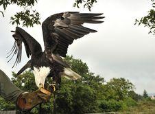 Free Bald Eagle (Haliaeetus Leucocephalus) Royalty Free Stock Photo - 17026765