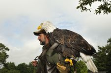 Free Falconer With Bald Eagle Stock Image - 17026781