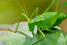 Free Katydid Royalty Free Stock Photo - 17029115
