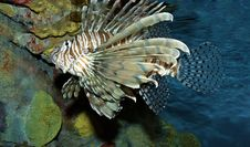 Free Lionfish Royalty Free Stock Photography - 17029497