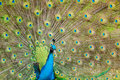 Free Brilliant Colors Of A Peacock Stock Photo - 17031870