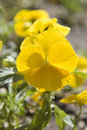 Free Yellow Pansy Stock Image - 17035921