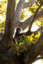 Free Dusky Leaf Monkey In Fig Tree Royalty Free Stock Photography - 17038487