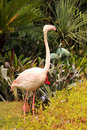 Free Greater Flamingo Grooming Stock Photo - 17039580