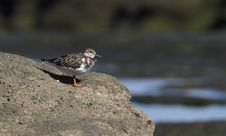 Free Rudy Turnstone Royalty Free Stock Image - 17030026