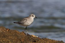 Free Black-belied Plover Royalty Free Stock Photo - 17030075