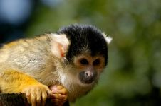 Squirrel Monkey At The Zoo Stock Image