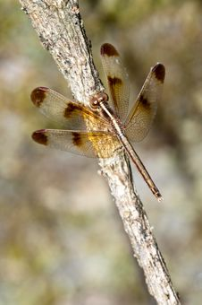 Free Close-up Dragonfly On Branch Stock Photos - 17033353