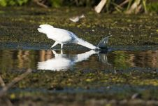 Free Little Egret Fishing Stock Photo - 17033950