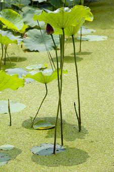 Free Lotus Pool Stock Image - 17034051
