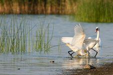 Free Eurasian Spoonbills Fighting Stock Images - 17034064