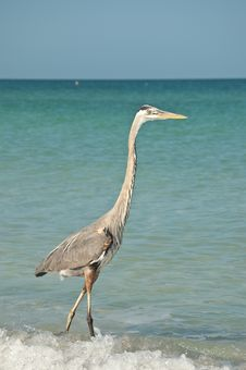 Free Great Blue Heron On A Gulf Coast Beach Royalty Free Stock Photo - 17034075