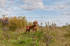 Free Vizsla Dog In A Field Royalty Free Stock Photography - 17034157