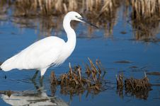 Free Little Egret Stock Photography - 17034502