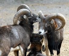 Free Mouflon Family Stock Photography - 17034542