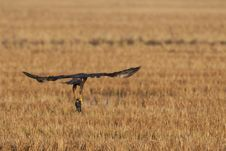 Free Marsh Harrier Stock Images - 17034584