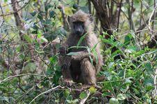 Free Baboon In The Serengeti Royalty Free Stock Photos - 17035668