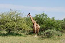 Free Giraffe In The Serengeti Stock Images - 17035704