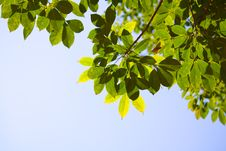Translucent Para Rubber Tree Leaves In Summer Royalty Free Stock Photo