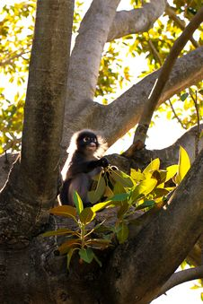 Dusky Leaf Monkey In Fig Tree Royalty Free Stock Photography