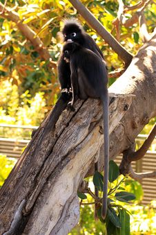 Free Dusky Leaf Monkeys In A Fig Tree Royalty Free Stock Photo - 17038505