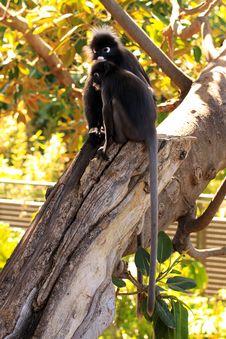 Dusky Leaf Monkeys In A Fig Tree Royalty Free Stock Photo