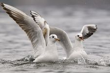 Free Common Gulls Stock Photography - 17038962