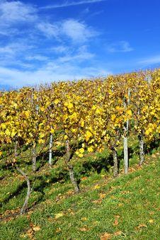 Free Vineyard Royalty Free Stock Images - 17041559