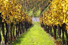Free Vineyard - The Autumn Season Stock Image - 17042141